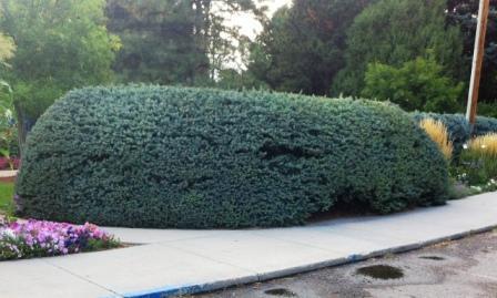 Siepe Giardino idee : ... siepe?) piantato e potato ad arte per creare una siepe sempreverde
