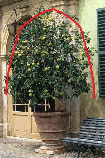 Periodo Per Potare Le Piante : Potatura limone come potare i limoni e gli agrumi in vaso