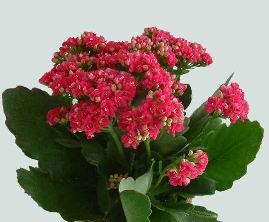 K di... Kalanchoe blossfeldiana (e 'Calandiva'): come coltivare questa pianta grassa da fiore e ...