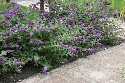 S di siepe e sempreverdi piante da vaso e per piccoli for Piante da vaso perenni