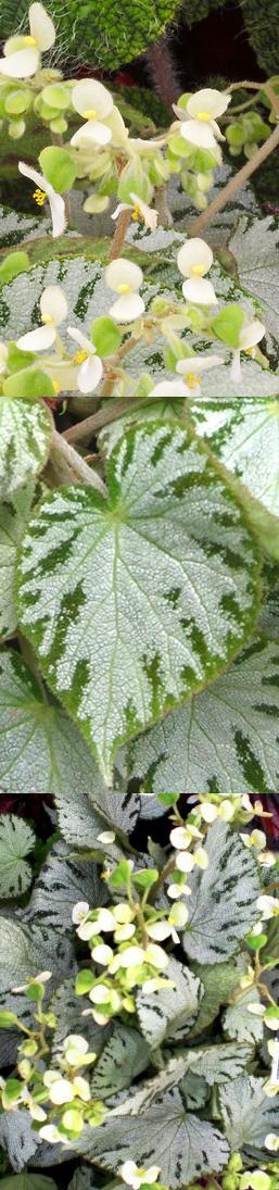 Begonie coltivazione cura storia e significato in un e - Begonia argentata ...