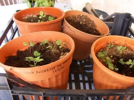 Riproduzione delle rose da seme for Riproduzione rose