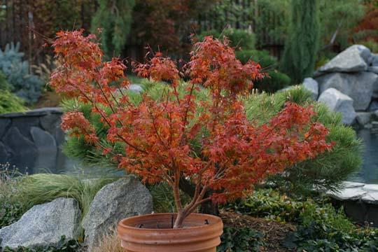 A di acero giapponese cultivar 39 nane 39 pi adatte alla for Acero rosso giapponese