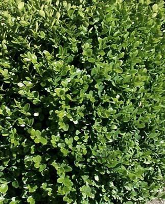 O di ombra elenco piante sempreverdi e foto che for Piante da siepe sempreverdi