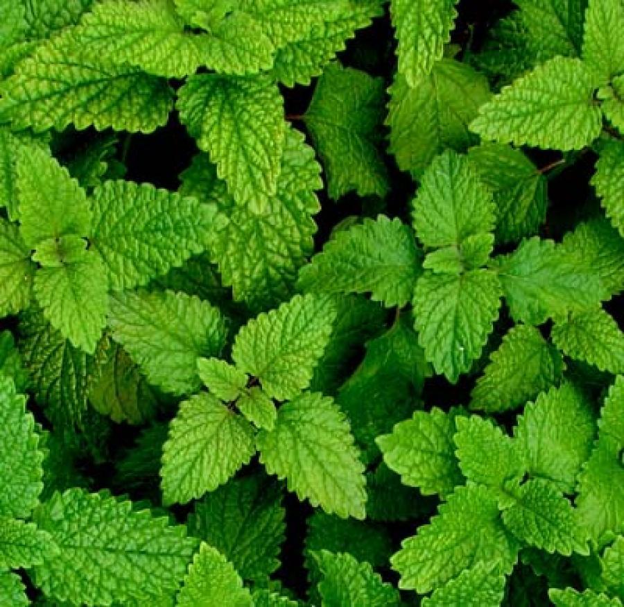 Tre piante utili per la lotta biologica contro zanzara - Lotta alle talpe in giardino ...
