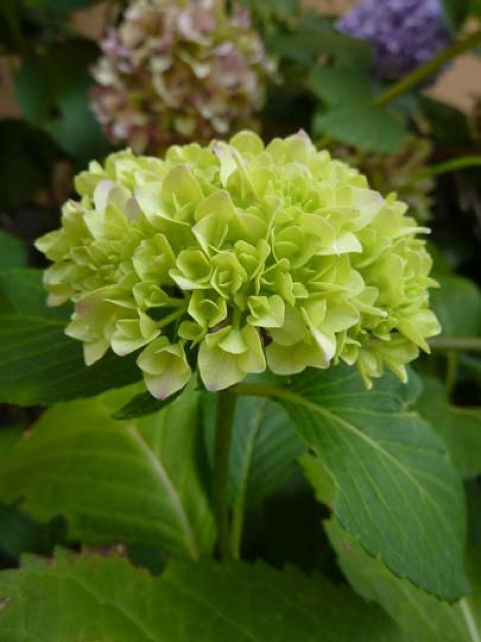 O di... Ortensia: Hydrangea e i suoi fiori destate, verdi (brattee)