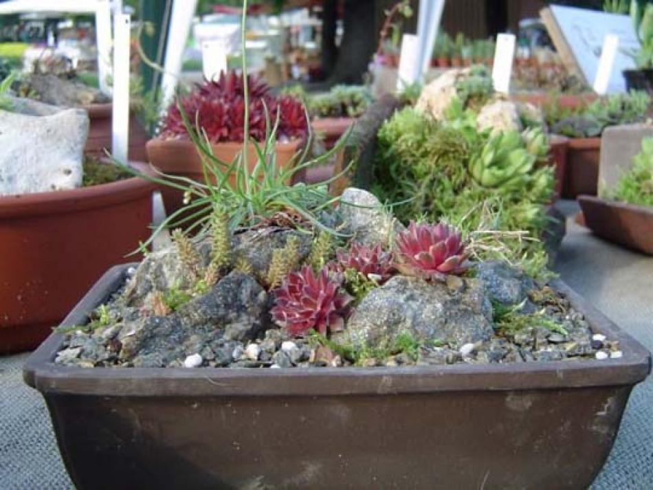 Giardino in miniatura in un piatto coltivare e viaggiare - Immagini giardini rocciosi ...