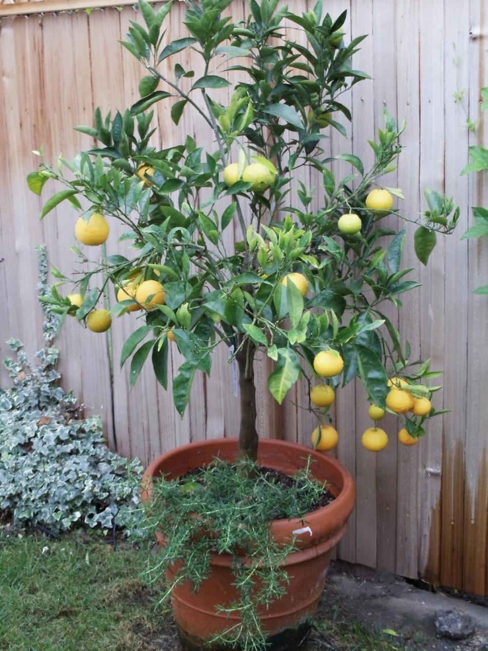 Potatura limone come potare i limoni e gli agrumi in vaso for Potatura limoni in vaso