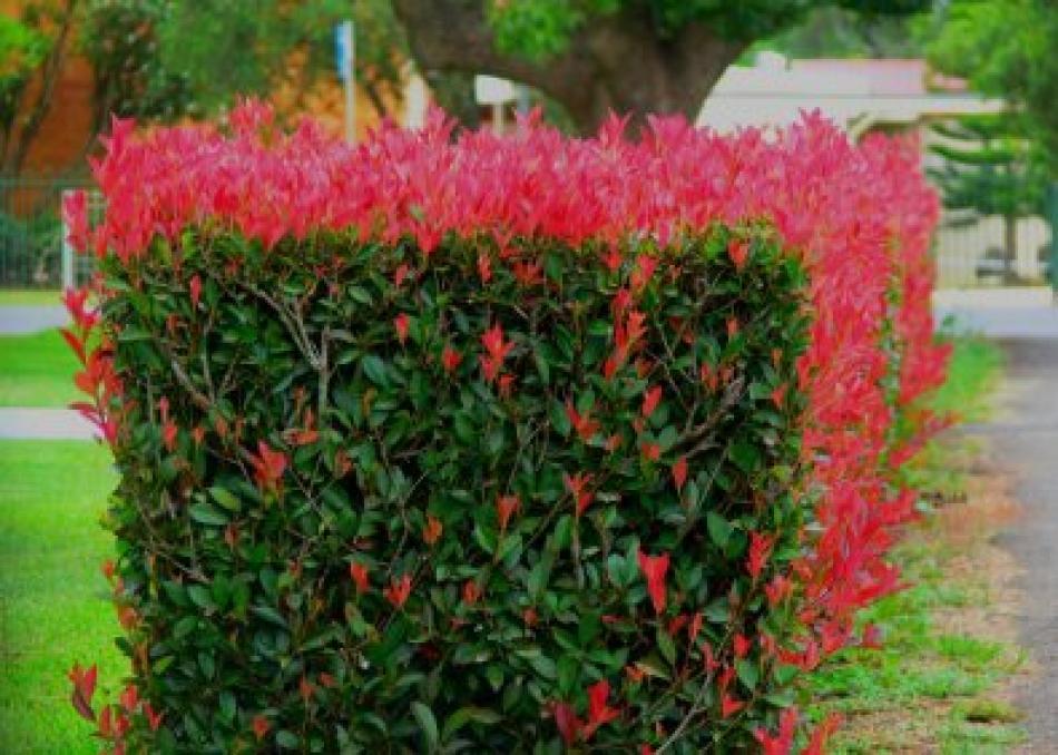 F di... (piante con) FOGLIE rosse: arbusti sempreverdi con nuova crescita rossa
