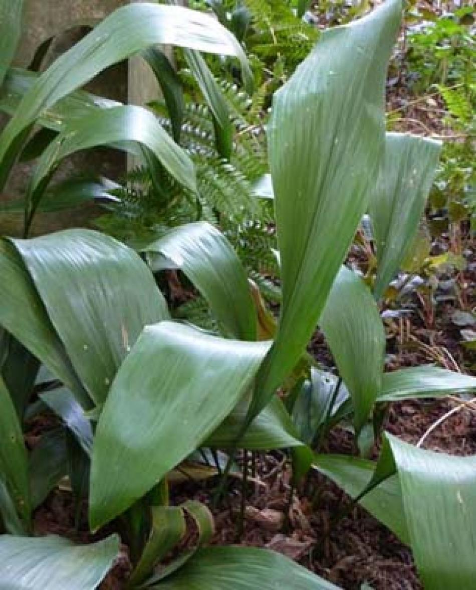 O di ombra elenco piante sempreverdi e foto che for Piante da giardino sempreverdi resistenti al freddo