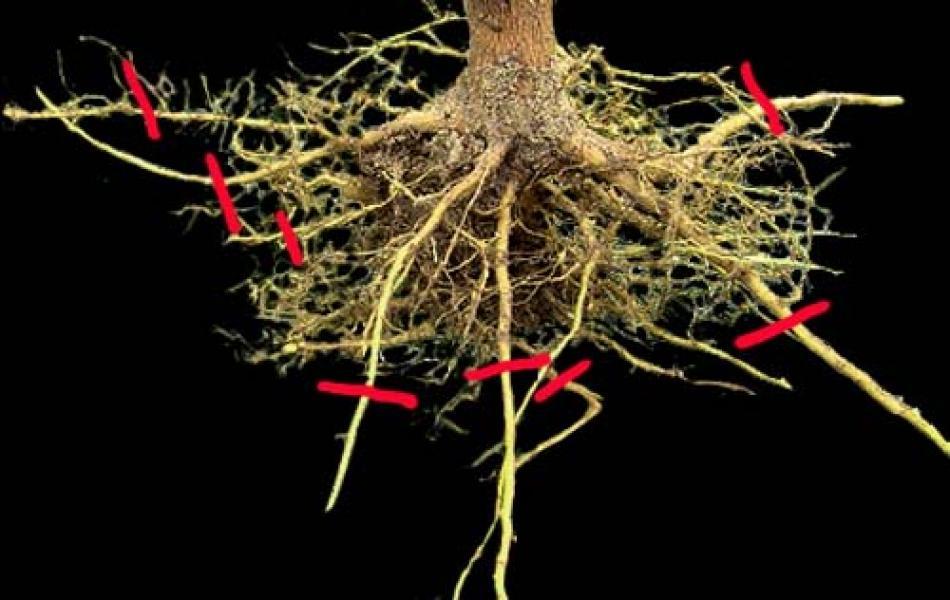 R di radici potatura delle radici nelle piante in vaso for Potatura limoni in vaso
