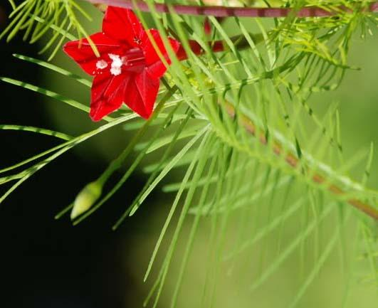 Q di quamoclit pennata ipomea quamoclit rampicante for Pianta mediterranea con fiori rossi bianchi e gialli
