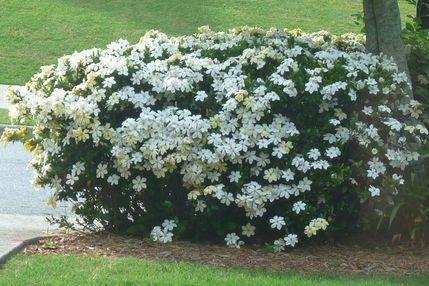 S di siepe e sempreverdi piante da vaso e per piccoli for Piante fiorite perenni da esterno