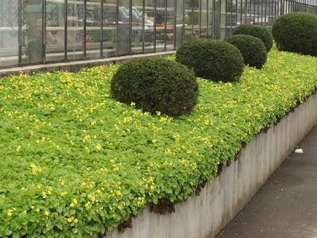 W di waldsteinia ternata tappezzante sempreverde - Piante tappezzanti ...