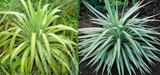 y di yucca le cultivar pi rustiche piante esotiche da