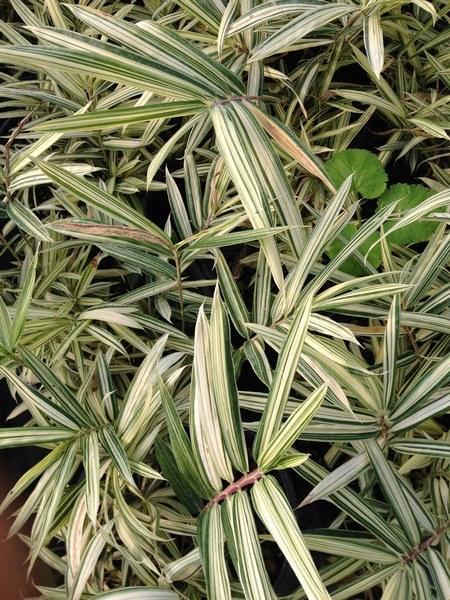 Piante autunnali piante autunnali perenni piante autunno for Piante da giardino sempreverdi con fiori