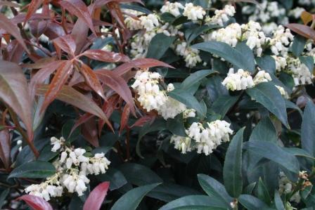 Pianta Sempreverde Con Fiori Bianchi.F Di Piante Con Foglie Rosse Arbusti Sempreverdi Con Nuova
