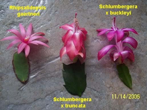 Cactus Di Natale.C Di Cactus Fiorito D Appartamento Di Natale O Di Pasqua