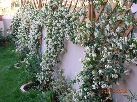 La siepe rampicante sempreverde di hardenbergia violacea for Giardino sempre verde