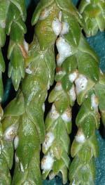 Carulaspis Minima ( Cocciniglia Delle Cupressacee )