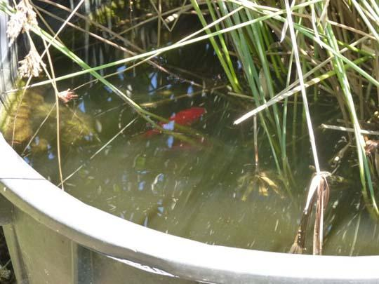 L 39 ecosistema acquatico un grazioso laghetto stagno da for Pesci rossi laghetto