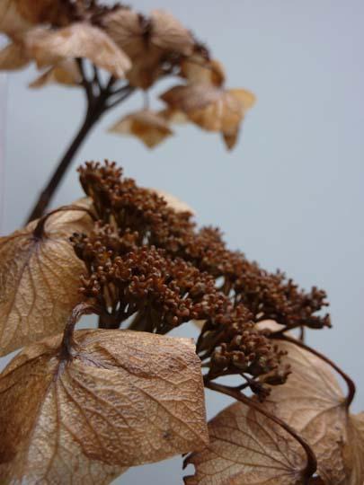 O di... Ortensia (Hydrangea) in inverno; non potare togliendo i fiori, sono b...