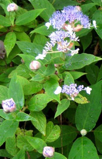 Ortensie hydrangea potatura ortensia macrophylla - Ortensia rampicante petiolaris ...