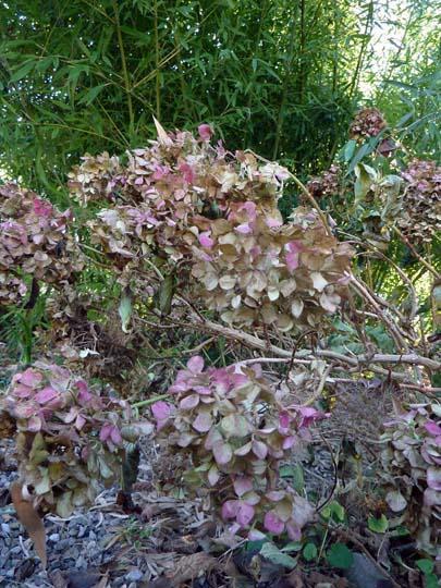 O di... Ortensia (Hydrangea) in inverno; non potare ...