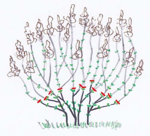 ortensie ( hydrangea): potatura (ortensia macrophylla, quercifolia)