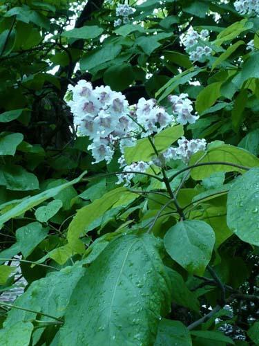 Chitalpa tashkentensis chitalpa meglio della catambra - Catalpa zanzare ...