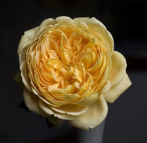 Potare le rose: osservare le nostre piante è la prima regola - i ...