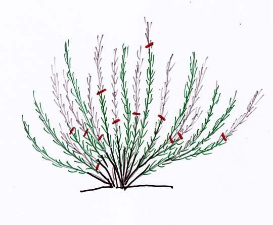 Rosmarino potare rosmarinus officinalis come e quando for Piante secche ornamentali