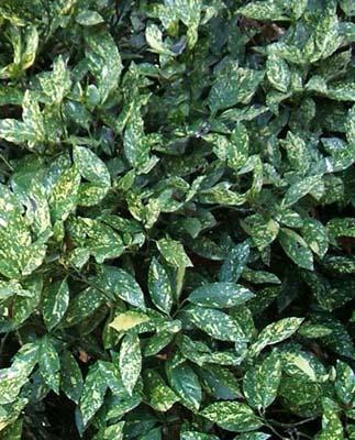 O di ombra elenco piante sempreverdi e foto che for Piante ornamentali sempreverdi da esterno