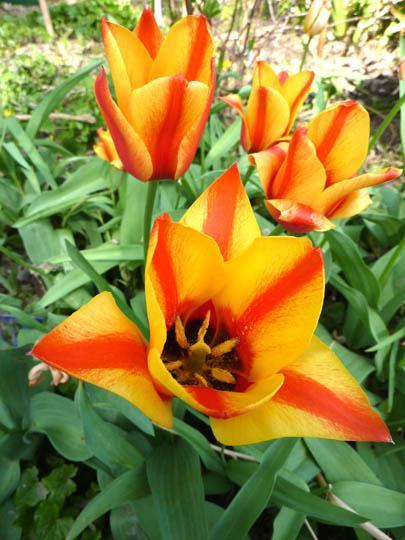 T di tulipani 39 specie 39 e tulipani 39 botanici 39 e ibridi for Piante classificazioni inferiori successive