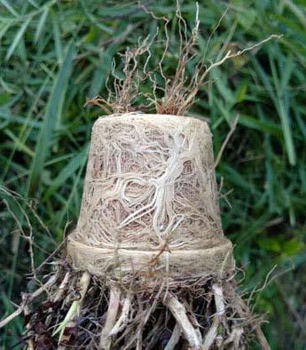 V di vaso come coltivare gli arbusti ornamentali for Sempreverdi in vaso
