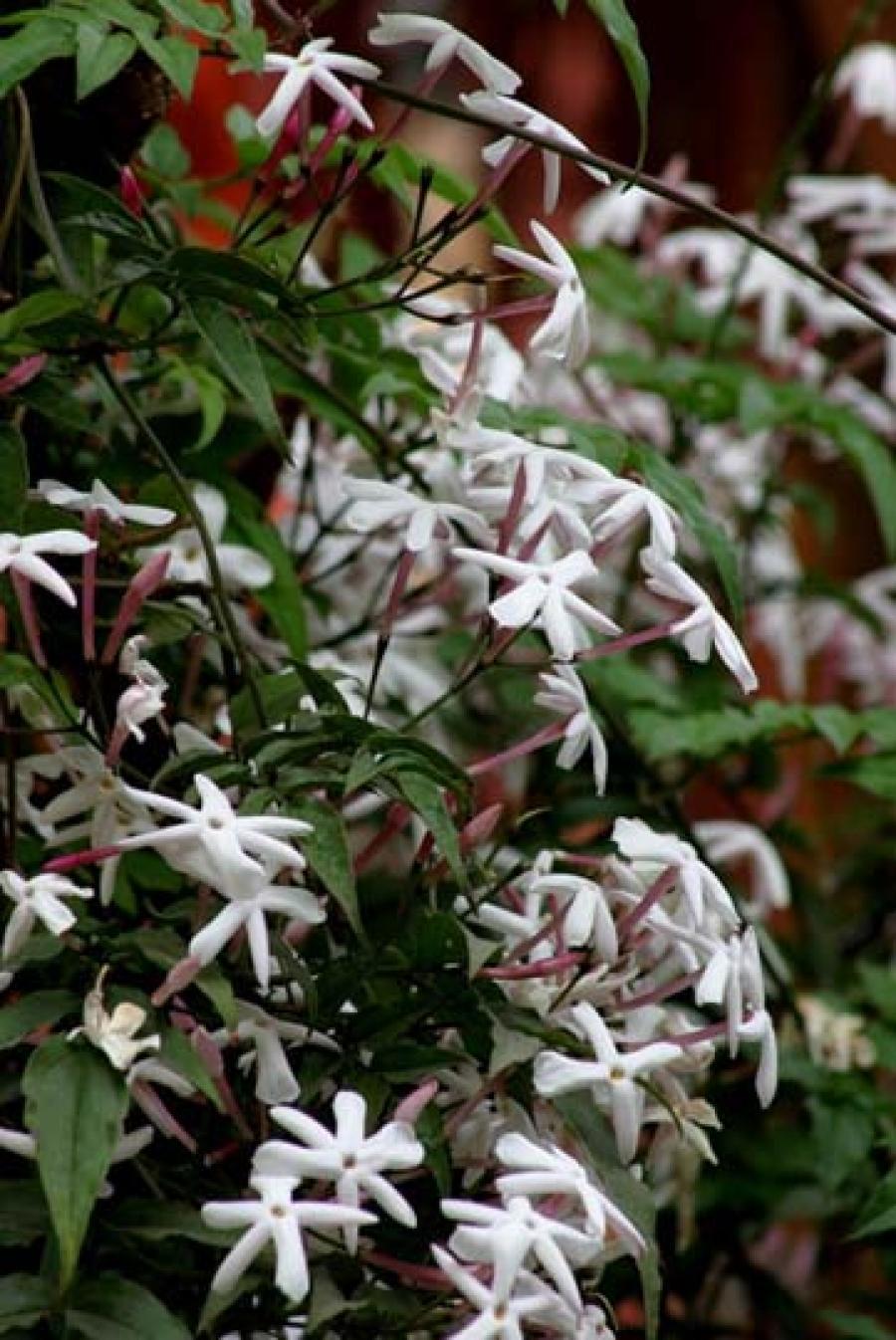 Come Potare A Palla gelsomino: potare - jasminum polyanthum