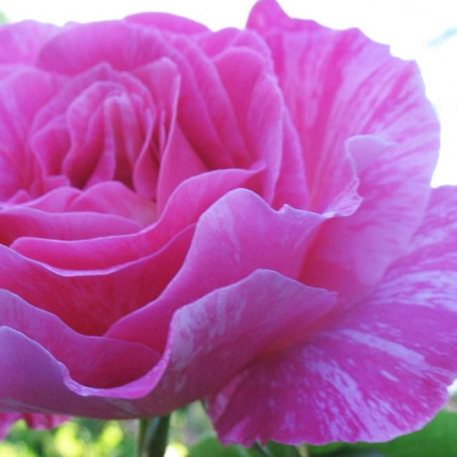 Rosa 'Candy Stripe'