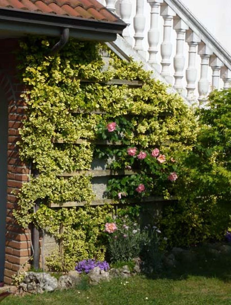 Euonymus fortunei come pianta rampicante sempreverde for Pianta rampicante sempreverde