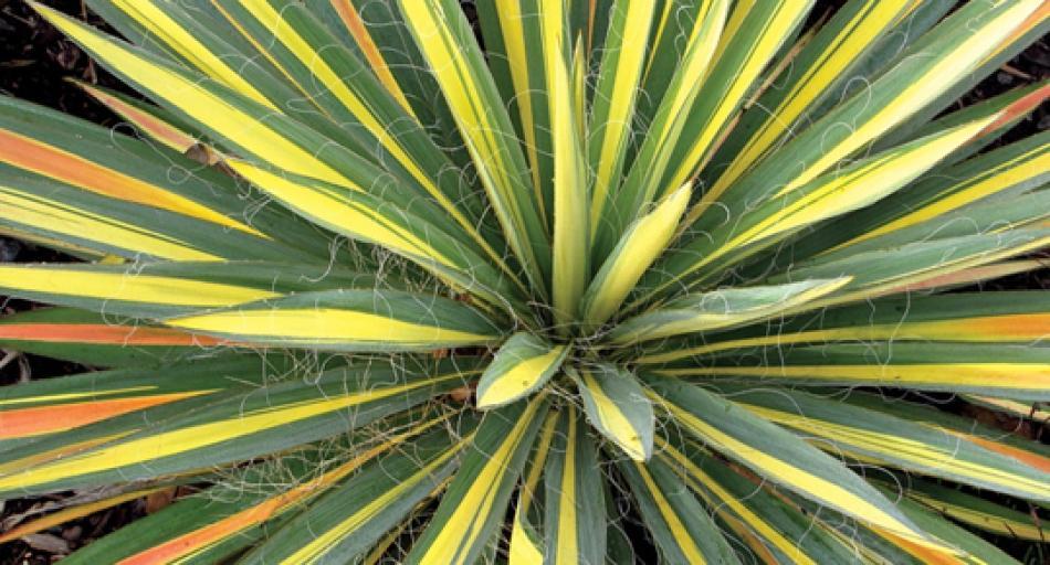Y di yucca le cultivar pi rustiche piante esotiche da - Piante particolari da giardino ...