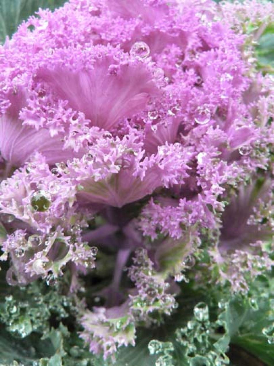 C di cavoli ornamentali brassica oleracea rosa bianco for Cavolo ornamentale