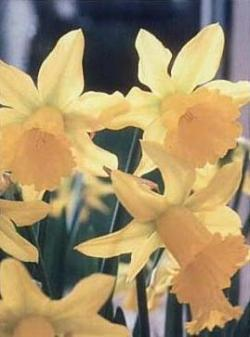 "Narciso precoce ""January Gold'"