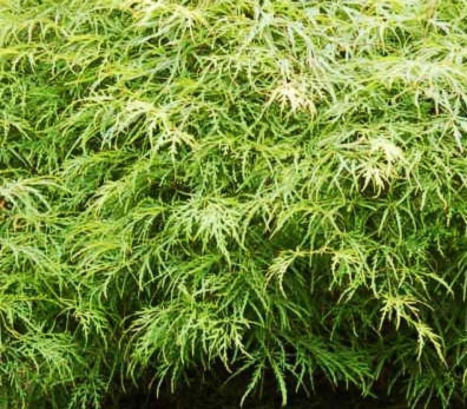 Alberi Nani Da Giardino a di acero giapponese: cultivar 'nane' più adatte alla