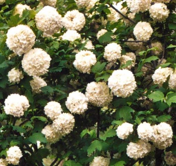 Fiori Bianchi A Palla.Pallon Di Maggio Viburnum Opulus Roseum Potare La Palla Di