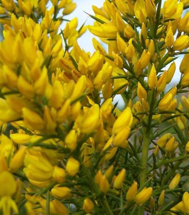 Fiori Gialli Da Giardino.U Di Ulex Europaeus O Ginestre Spinose Arbusto Sempreverde Da