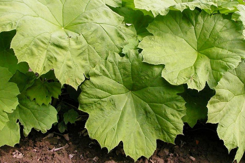 V di victoria amazonica la ninfea gigante e altre piante con foglie grandi - Piante grandi da giardino ...
