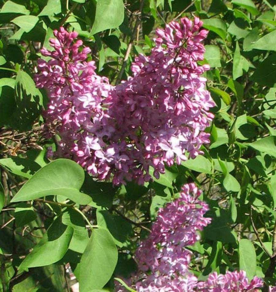 Albero Di Lillà lillà (syringa vulgaris); potare la serenella (potatura)