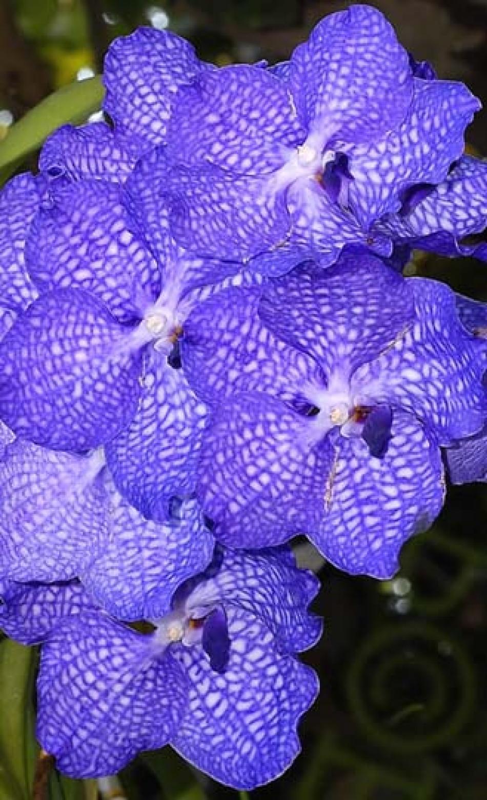 Come Creare Il Viola orchidea: orchidee blu - phalaenopsis colorate di blu e