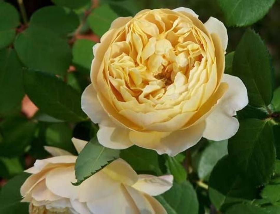 Rosa inglese profumata 39 charles darwin 39 di david austin for Rosa inglese