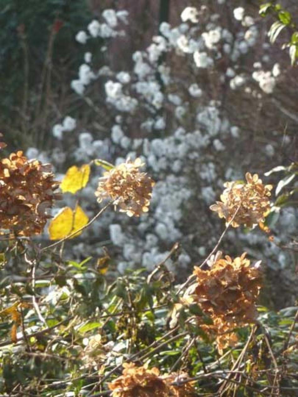 Fiori Di Ortensia Secchi o di ortensia (hydrangea) in inverno; non potare