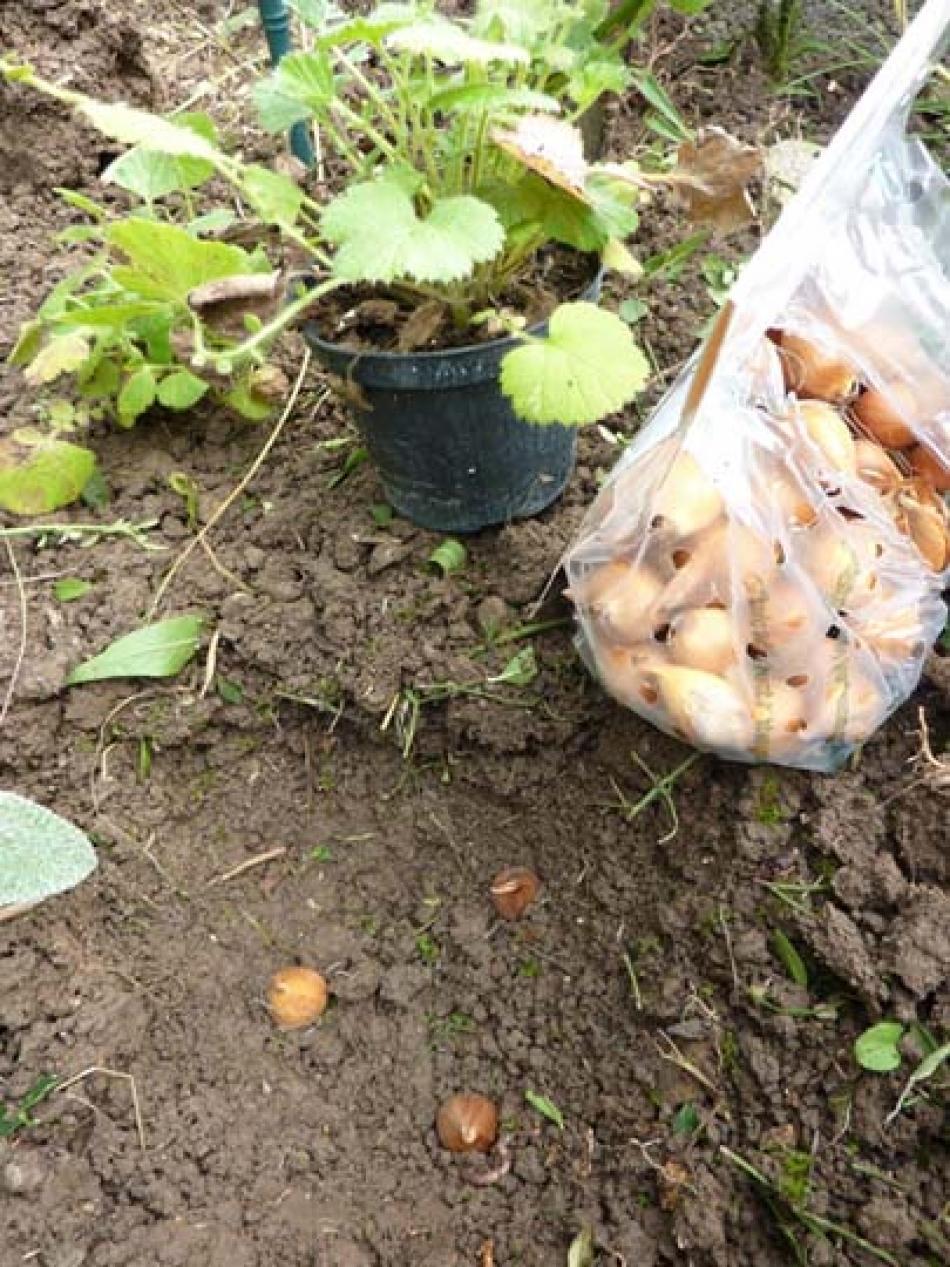 Piantare I Bulbi Di Tulipani piantare i bulbi (messa a dimora) nella stessa buca delle